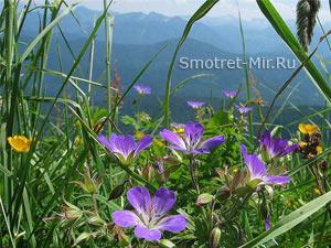 Альпийские растения