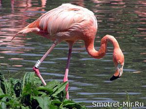 Фламинго - фото