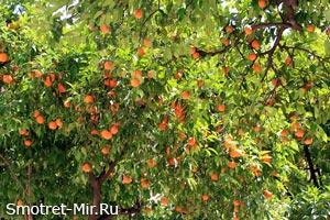 Апельсины в Андалусии