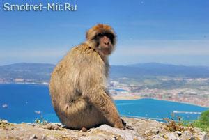Гибралтарская обезьяна