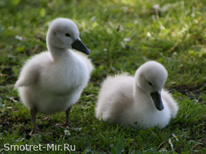 Детеныши птиц
