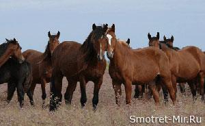 Дикие лошади Камарга