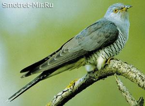 Кукушка - птицы леса