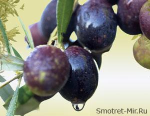 Оливки в Испании