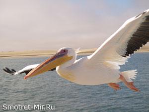 Пеликан птица