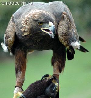 Птица Беркут