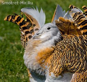 Птица большая дрофа