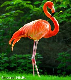 Фламинго Франция