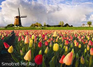 Цветок Нидерландов