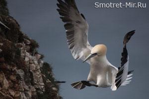 Олуша птица