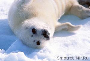 Тюлень фото