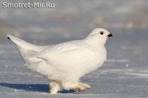 Белые куропатки фото