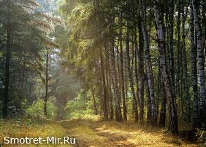 Березовые леса