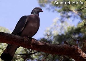 Крупный лесной голубь