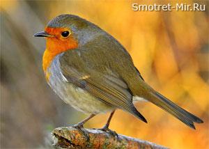 Птица зарянка в Англии