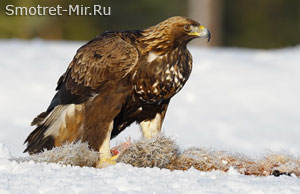 Птица орел беркут