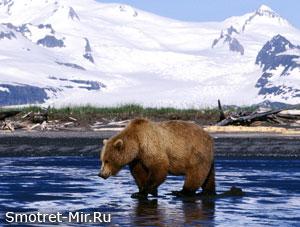 Медведь в России