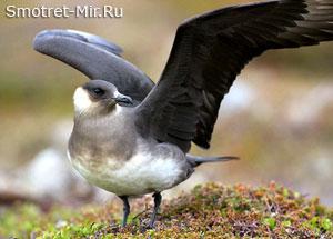 Птица обитающая в тундре
