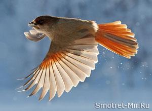 Кукша птица