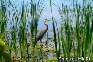 Птицы живущие на болоте