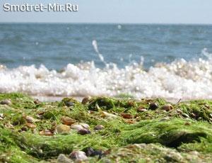Водоросли Азовского моря