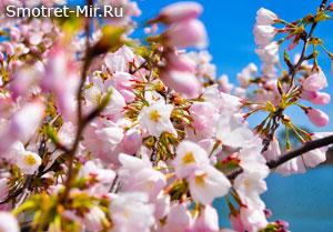 Время цветения деревьев
