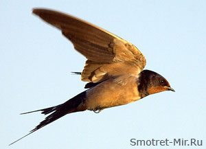 Летящая ласточка