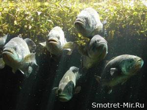 Лососевые рыбы