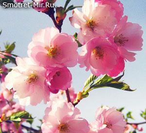 Период цветения деревьев
