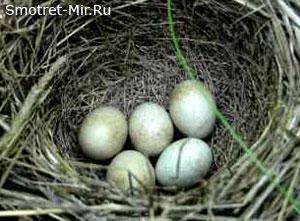 Гнездо на земле