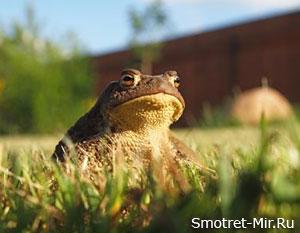 Земноводная жаба