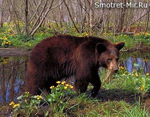 Медведь весной