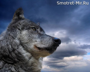 Волк - звери осенью