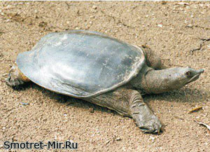 Дальневосточная черепаха фото