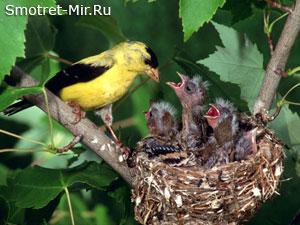 Птенцы в гнезде картинки