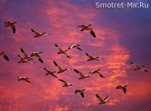 Птицы собираются в стаи