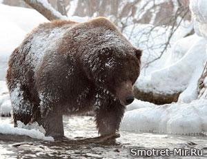 Медведь-шатун зимой