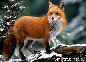 Фото лисы зимой