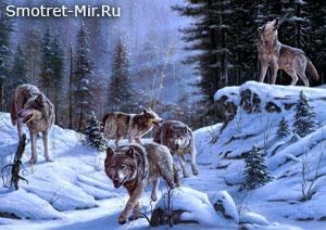 Волки зимой фото