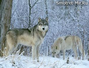 Волки зимой
