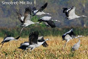 Перелетные птицы картинки