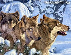 Фото волки зимой