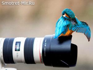 Зимородок птица