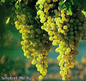 Виноград Молдовы фото
