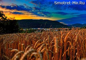Ржаное поле фото