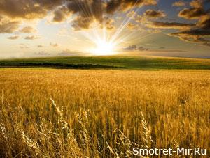 Хлебное поле фото