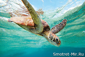 Черепахи Большого Барьерного рифа